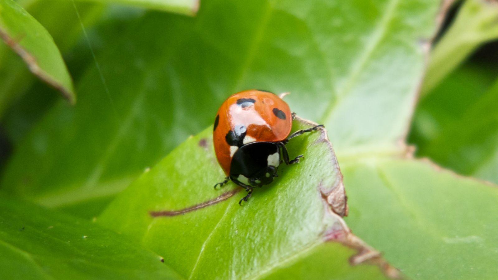 Ladybird Species In Ireland