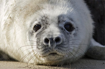 Grey Seal by Mike Brown