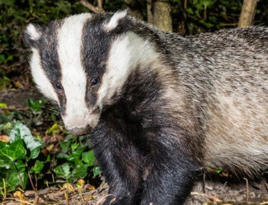 Badger by Mike Brown