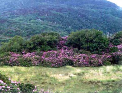Rhododendron-at-Killarney-National-Park