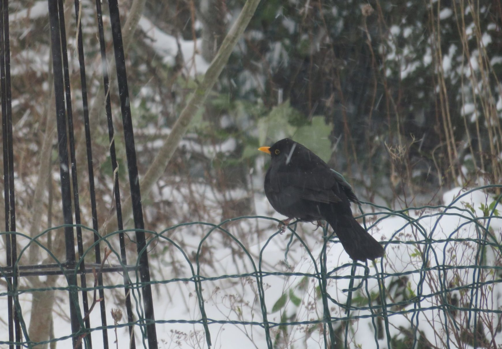 During Cold Snaps You Will Almost Certainly Notice More Birds Coming Into Your Garden To Seek Sanctuary From The Harsher Environment In Countryside