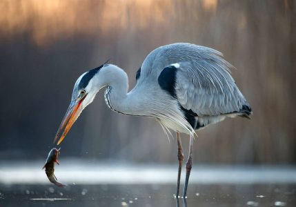 Herons, views past and present, a non-scientific approach - Co Laois