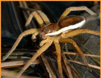 SOTW-raft-spider1