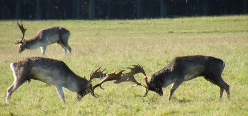 Deer Rut Phoenix Park