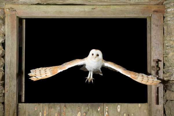 Barn Owl flying through barn window.